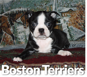 about boston terriers breed