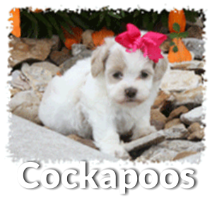 Cockapoo dog and puppy information