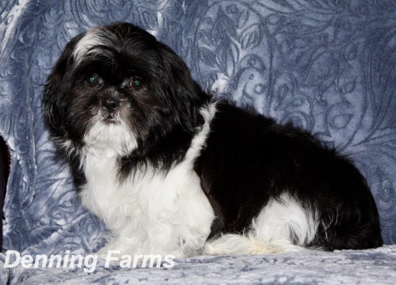 Teddybear Puppies for Sale   Teddy Bear Puppy Farm   Denning Farms