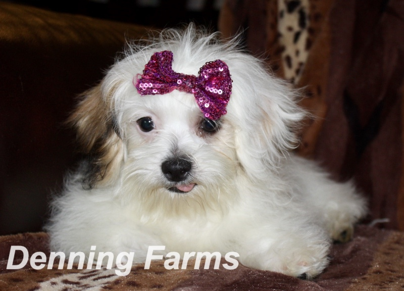 Teddybear Puppies for Sale | Teddy Bear Puppy Farm | Denning