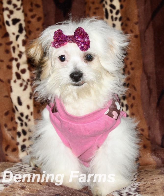 Teddybear Puppies for Sale | Teddy Bear Puppy Farm | Denning
