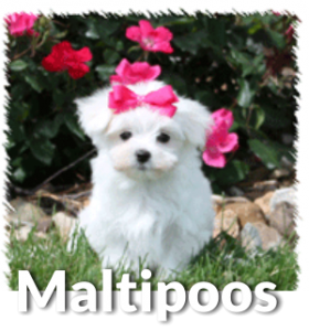 About Maltipoos, Denning Farms