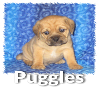 Puggle Puppies