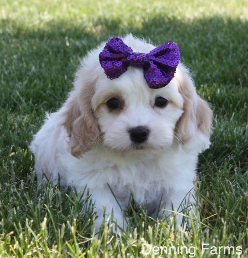 Cavachon-Female-Iowa-Puppy-2b - Denning Farms Puppies