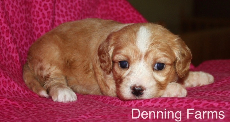 Cavachon-Female-Puppy-Iowa-AA - Denning Farms Puppies
