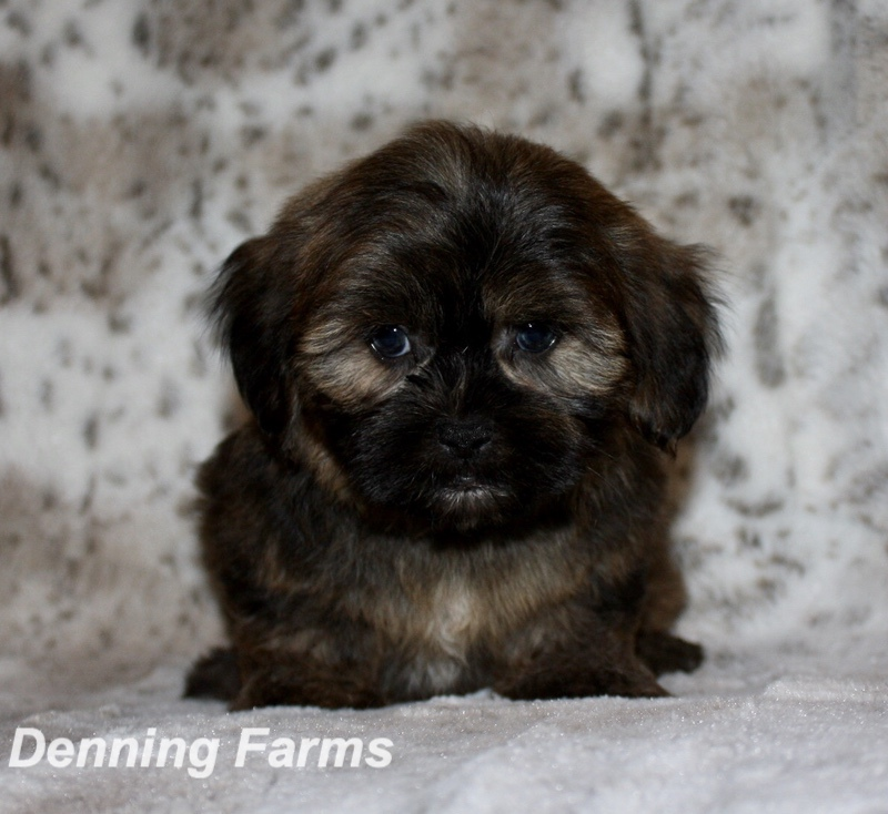 The Yorkie Poo Puppies For Sale In Iowa {Forum Aden}