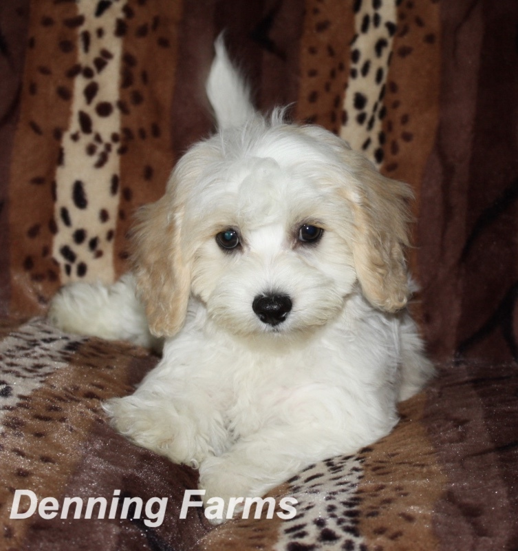 Top Five Cavachon Puppies For Sale Near Illinois - Circus