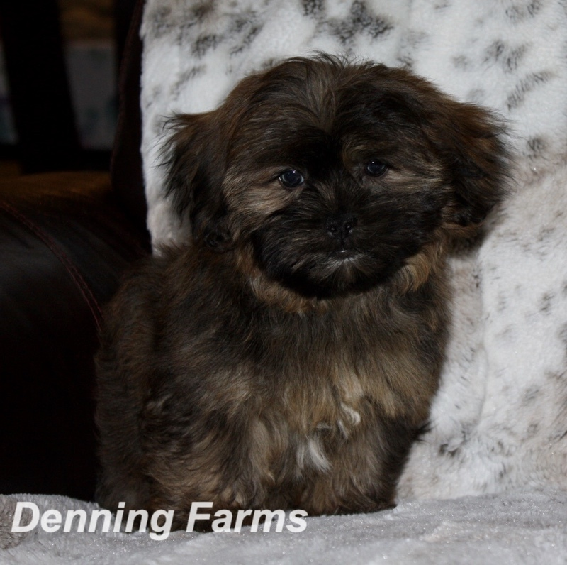 Yorkiepoo Puppies For Sale At Denning Farms In Houghton Ia
