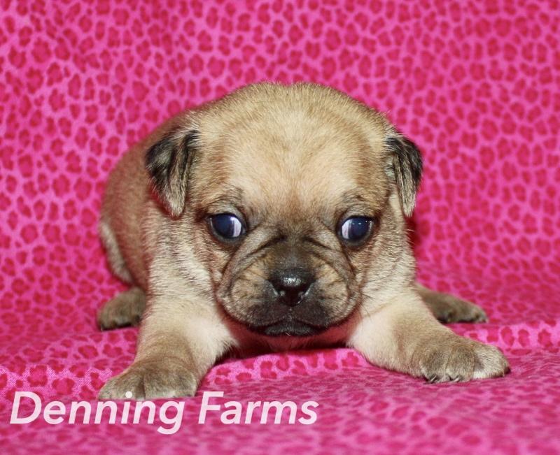 Puggle Puppies for Sale | Denning Farms Puggle Breeder | IA